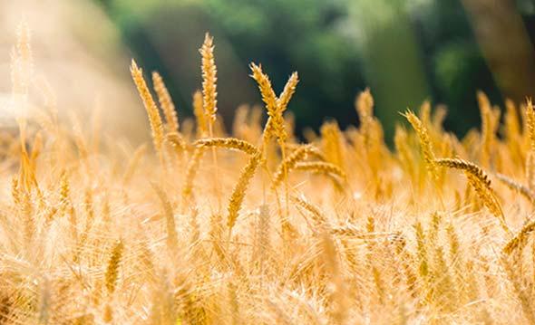Qual è la differenza tra grano tenero e duro?